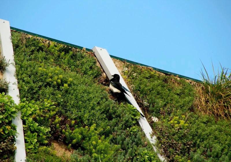 Una urraca busca comida en el jardín vertical del Palacio Europa